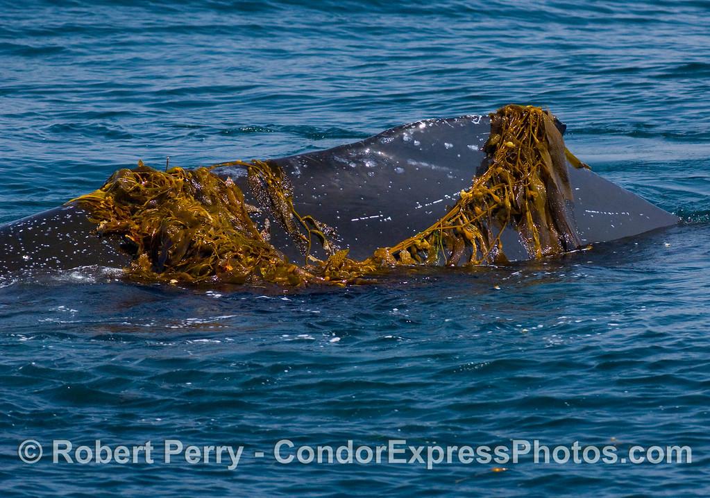 Megaptera novaengliae kelp draped on dorsal fin 2008 06-08 SB Channel--194modCROP