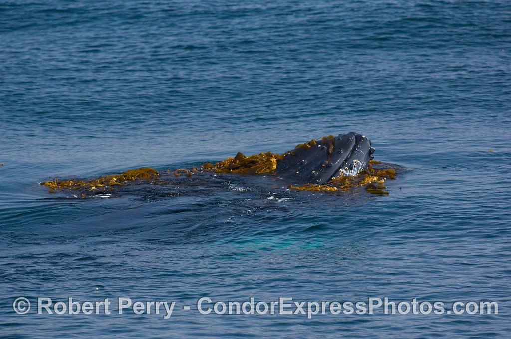 Megaptera novaengliae  head pops up in kelp paddy 2008 06-08 SB Channel--137
