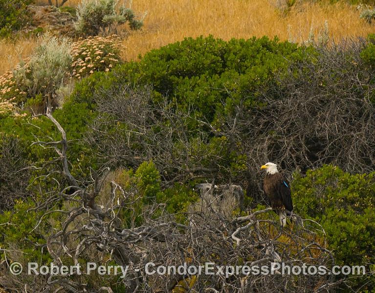 Haliaeetus leucocephalus on branch on cliff 2008 06-25 Sta Cruz Isl--220modCROP