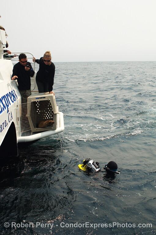 Zalophus rehab release SEQ 2008 06-25 SB Channel--407