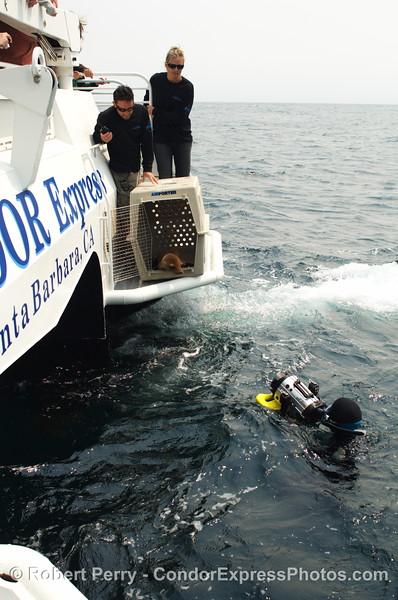 Zalophus rehab release SEQ 2008 06-25 SB Channel--404