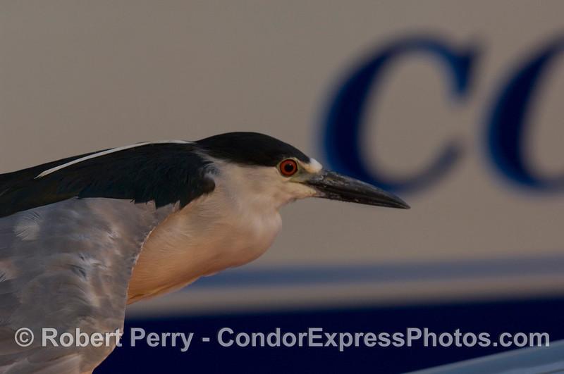 Nyticorax nycticorax black crowned night heron 2008 06-25 SB Har bor--007crop