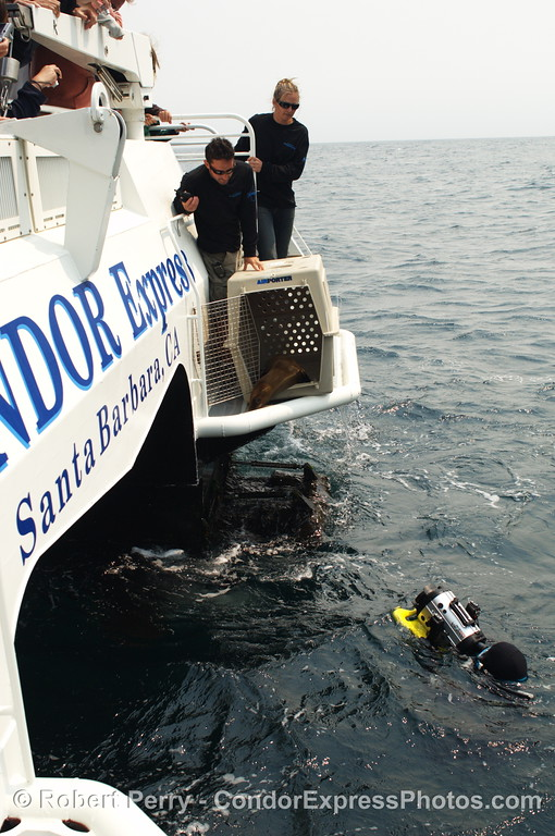 Zalophus rehab release SEQ 2008 06-25 SB Channel--403