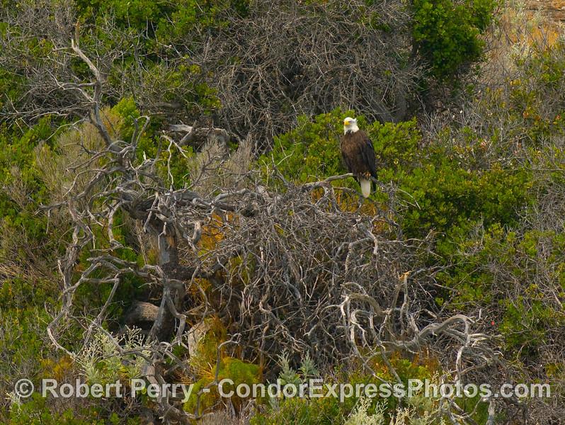 Haliaeetus leucocephalus on branch on cliff 2008 06-25 Sta Cruz Isl--226modCROP