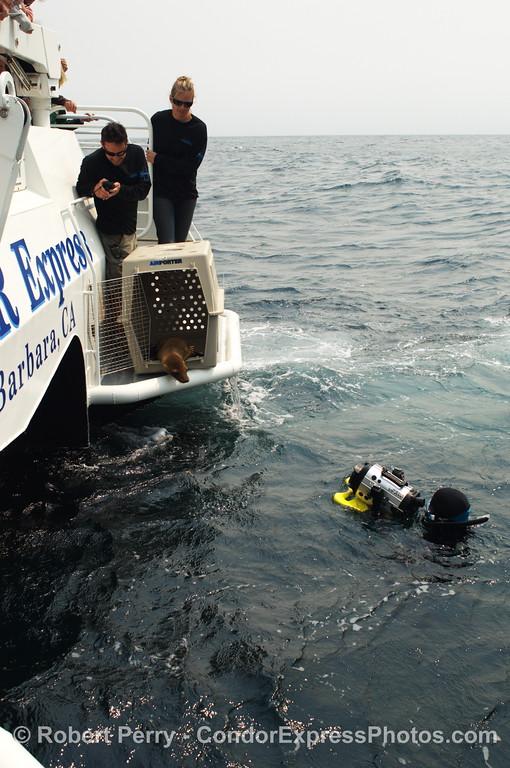 Zalophus rehab release SEQ 2008 06-25 SB Channel--405