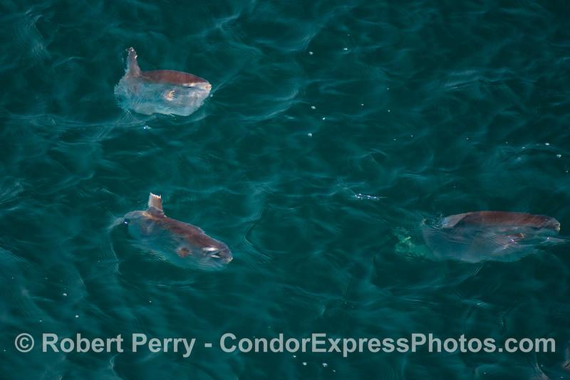 Mola mola chomped dorsal fin 2008 06-25 SB Channel--3147modCROP