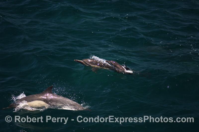 Delphinus capensis large pod 2008 06-29 SB Channel - 160