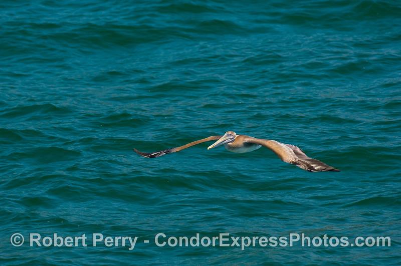 Pelecanus soaring 2008 07-05 SB Channel - 4125