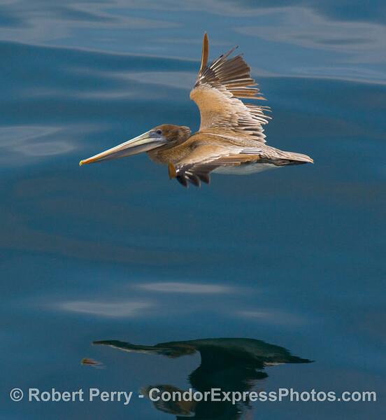 Pelecanus occidentalis in flight glassy close 2008 07-12 SB Channel - 3535modCROP