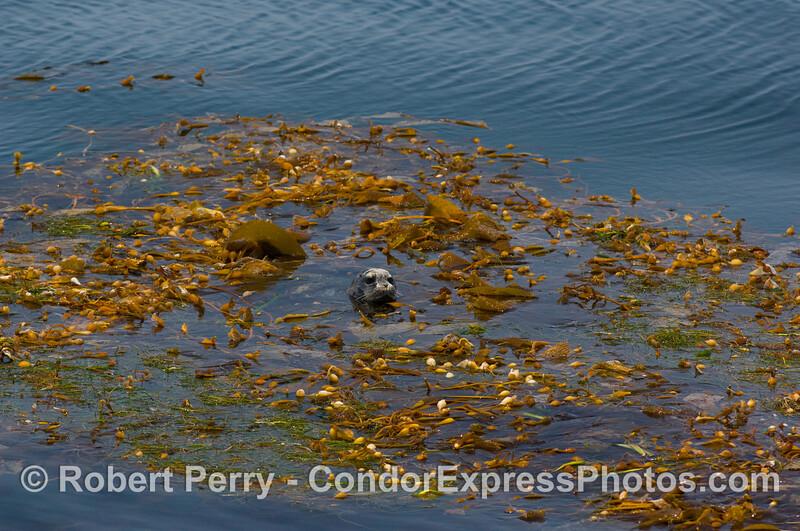Phoca vitulina in drift kelp paddy 2008 07-26 SB Channel_0365