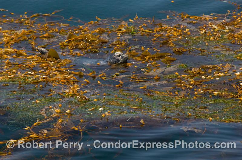Phoca vitulina in drift kelp paddy 2008 07-26 SB Channel_0383