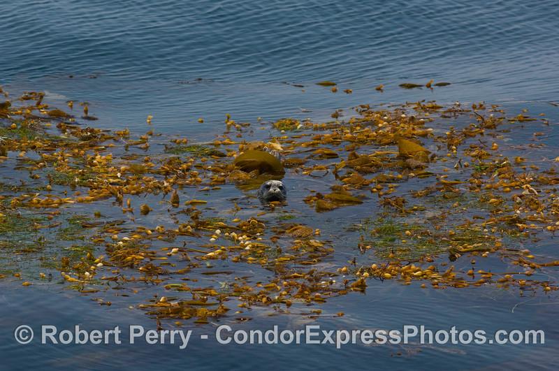 Phoca vitulina in drift kelp paddy 2008 07-26 SB Channel_0356