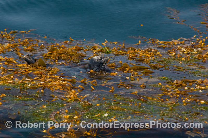 Phoca vitulina in drift kelp paddy 2008 07-26 SB Channel_0392
