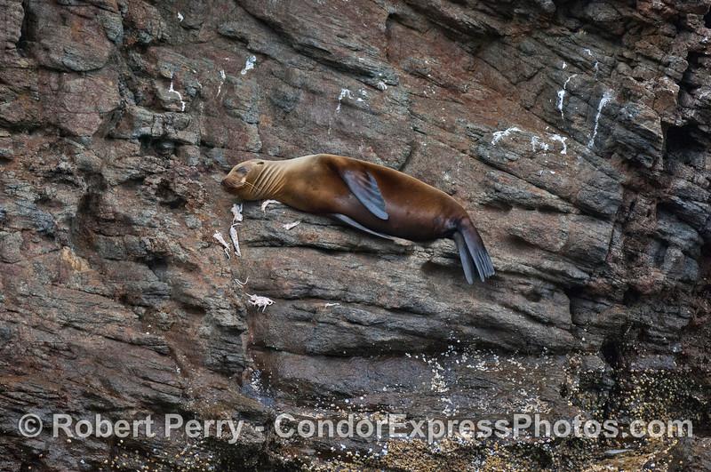 Zalophus californianus on sea cliffs & Loligo debris 2008 08-19 Sta Cruz Island - 112