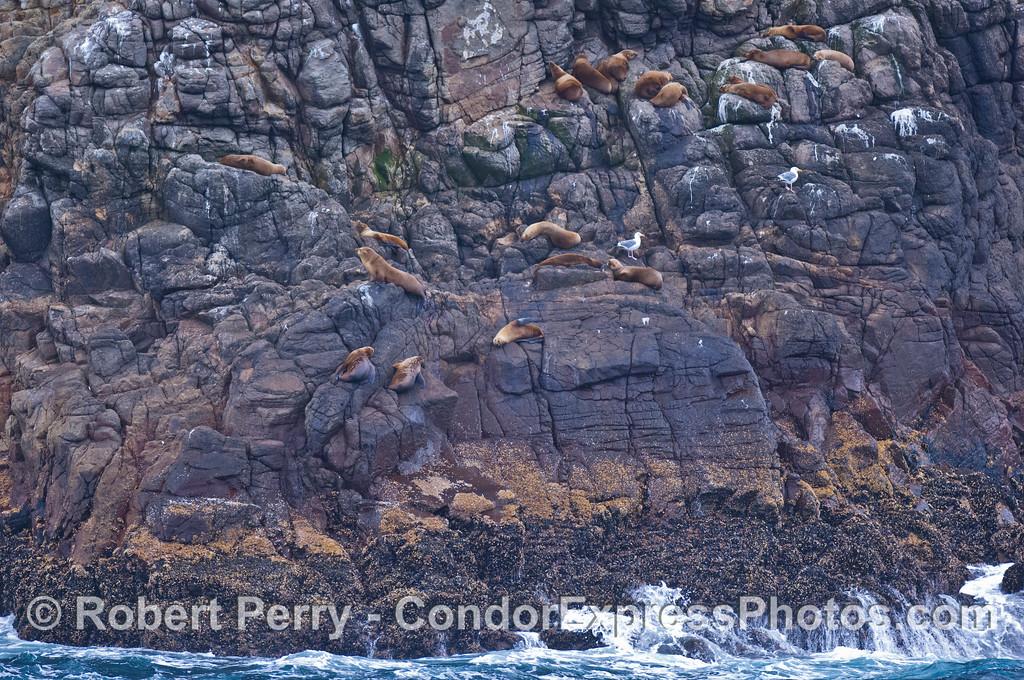 Zalophus californianus on sea cliffs 2008 08-19 Sta Cruz Island - 101