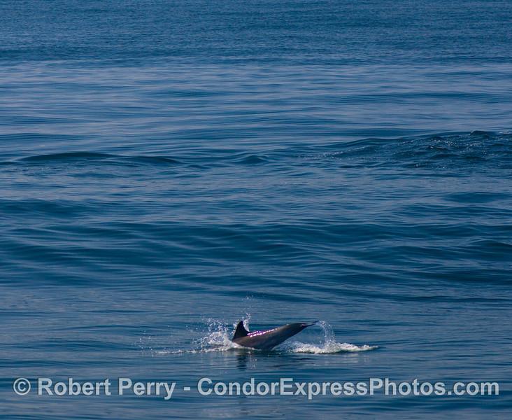 Delphinus tail slap oncoming wave 2008 08-21 SB Channel - 017modCROP