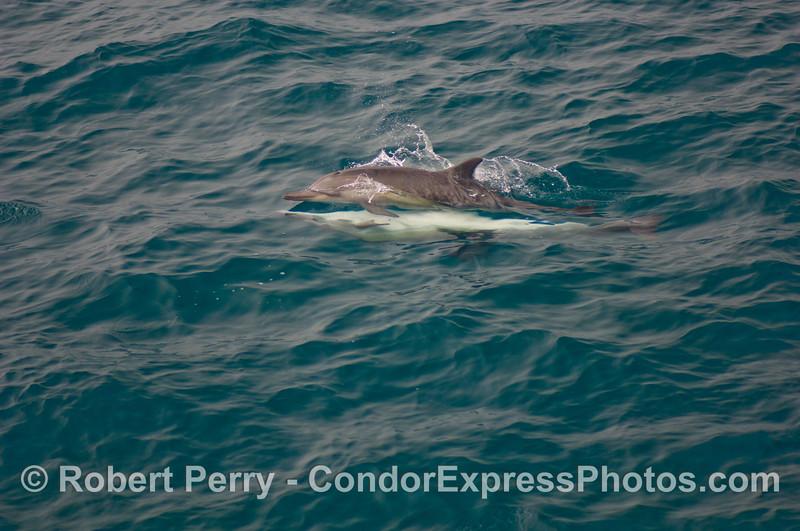 Delphinus capensis MATING 2008 08-30- SB Channel - 021mod