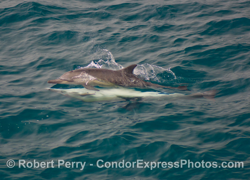 Delphinus capensis MATING 2008 08-30- SB Channel - 021modCROP