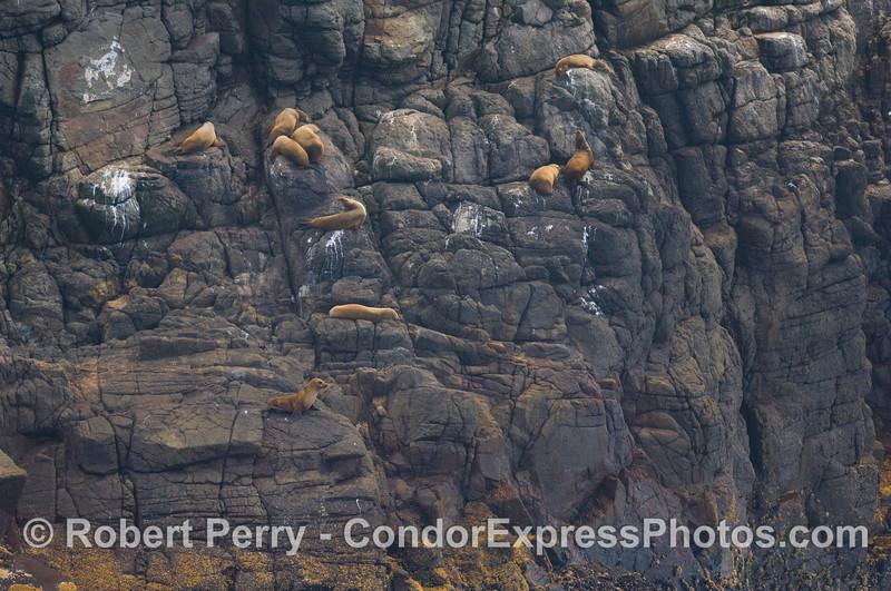 Zalophus high up on rock wall 008 08-30 Sta Cruz Island - 309