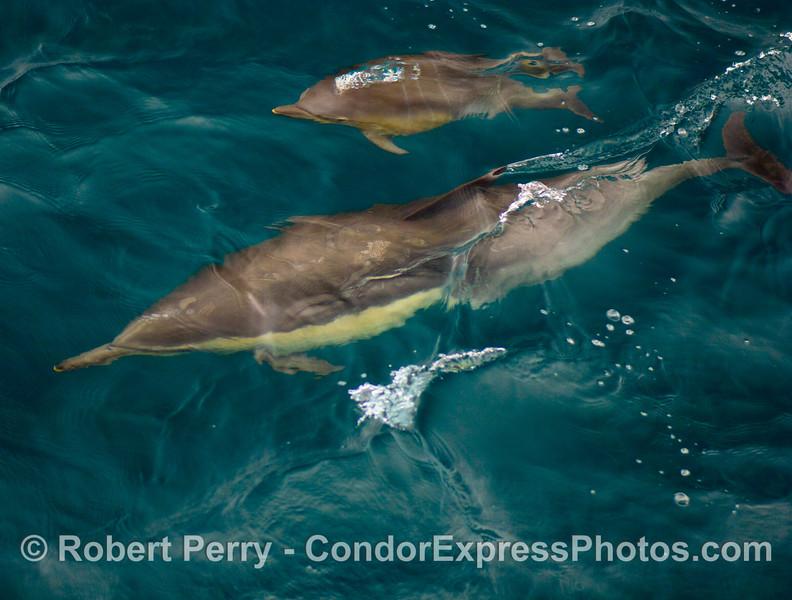 Delphinus capensis COW & CALF UW 2008 08-30- SB Channel - 064modCROP