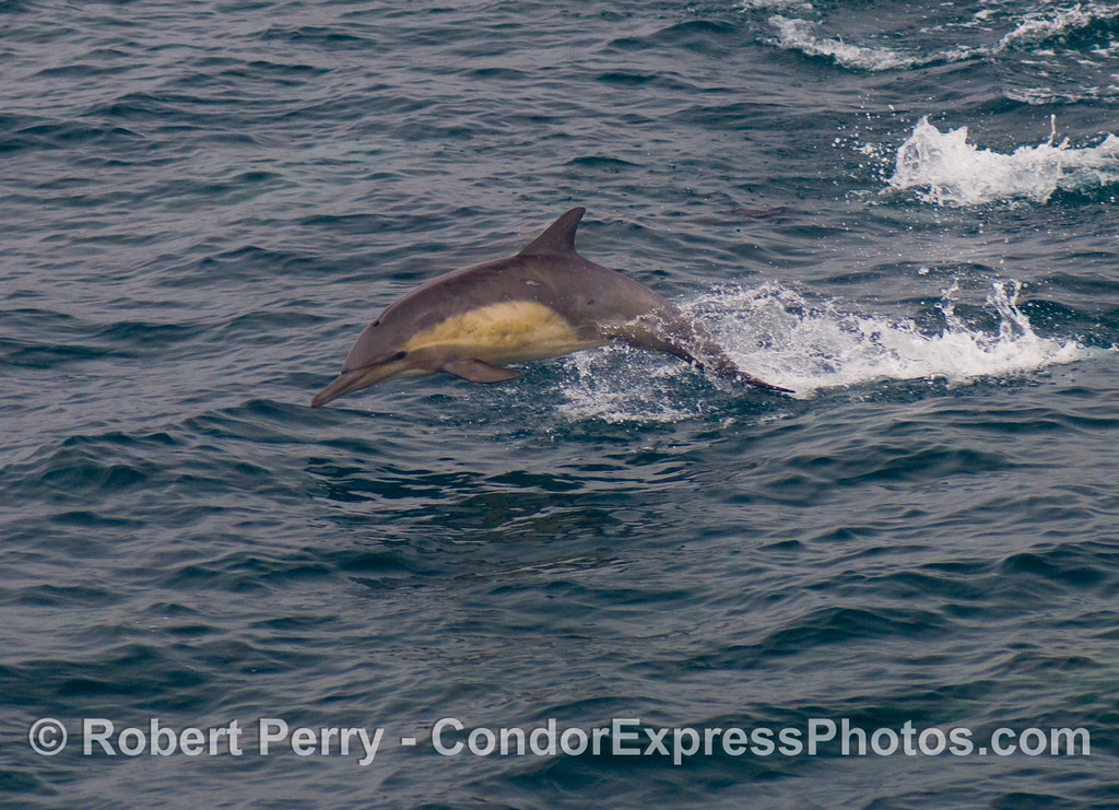 Delphinus capensis LEAP 2008 08-30- SB Channel - 019modCROP