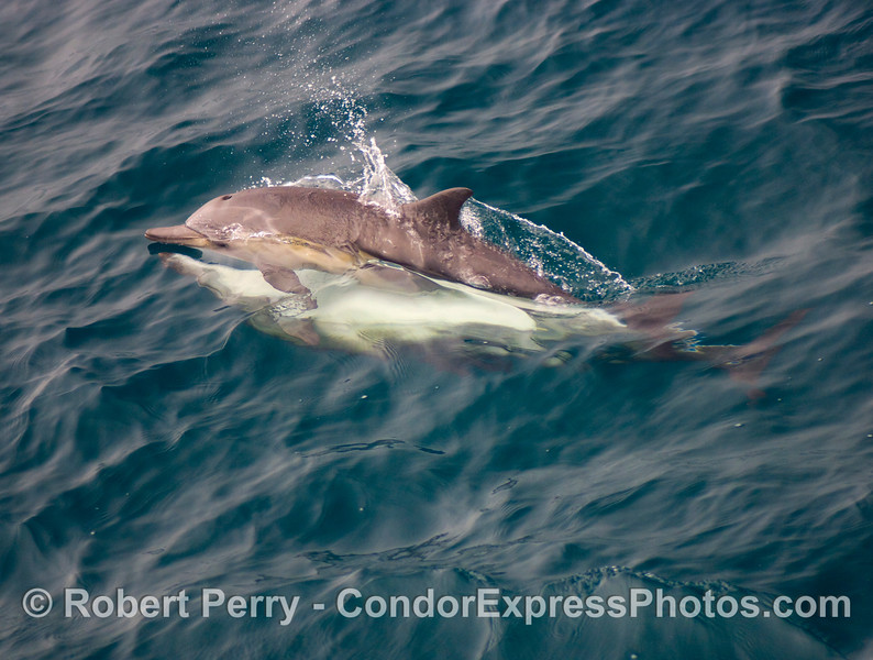 Delphinus capensis MATING 2008 08-30- SB Channel - 025modCROP