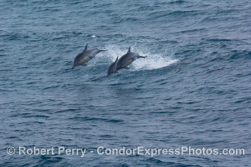 Delphinus capensis THREE leaping 2008 08-30 SB Channel - 302