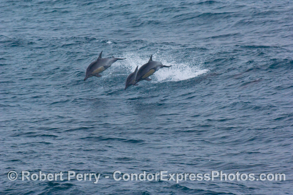 Delphinus capensis THREE leaping 2008 08-30 SB Channel - 302