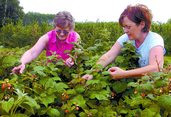 Citizen photo by David Mah Myrna Kreboski, left, and Lori Cook found handfulls of raspberries at the Rainbow Berry Farm on the Chief Lake Road Saturday.