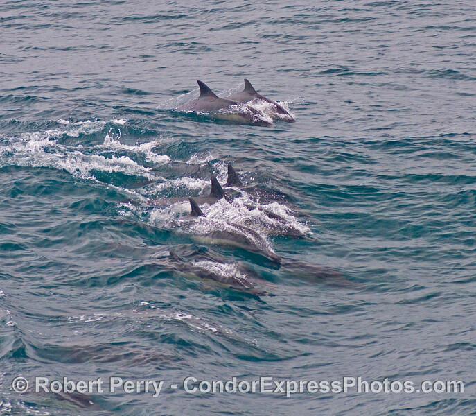 Delphinus delphis 2008 09-07- SB Channel - 257