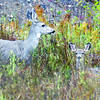 Citizen photo by David Mah A doe and fawn mule deer spotted on the McBride Timber Road are curious  about the photographer. Soon they lost interest and walked away.