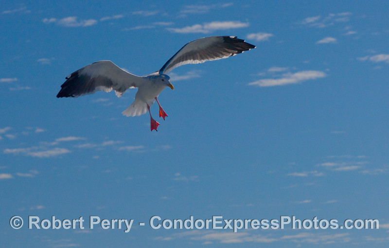 Larus hovering mid air CLOSE 2008 10-18 So Calif Bight - 4146modCROP