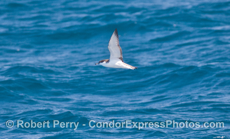 Puffinus bulleri in flight 2008 10-18 So Calif Bight - 010