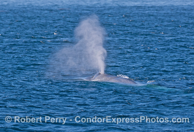 Mighty spout from a giant blue whale.