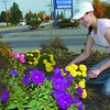 Citizen photo by Brent Braaten Antanina Bedford cleans up the flowers in the bed at the corner of 5th Avenue and the by-Pass Thursday afternoon. With colder weathercoming they won't last long.