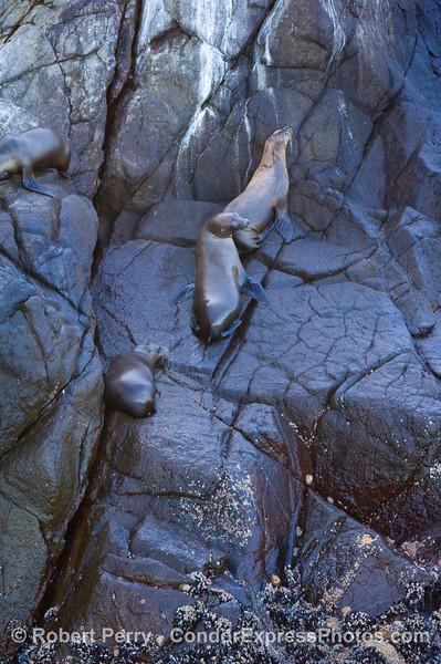 Zalophus climbing up cliff wall  2008 11-02 Sta Cruz Isl - 237mod2