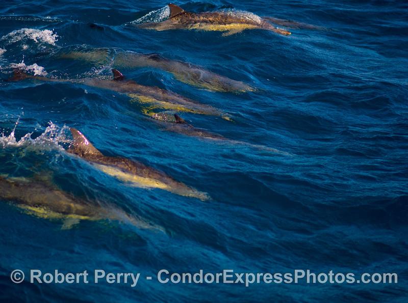Delphinus delphus SIX on wave 2008 11-02 SB Channel - 304modCROP