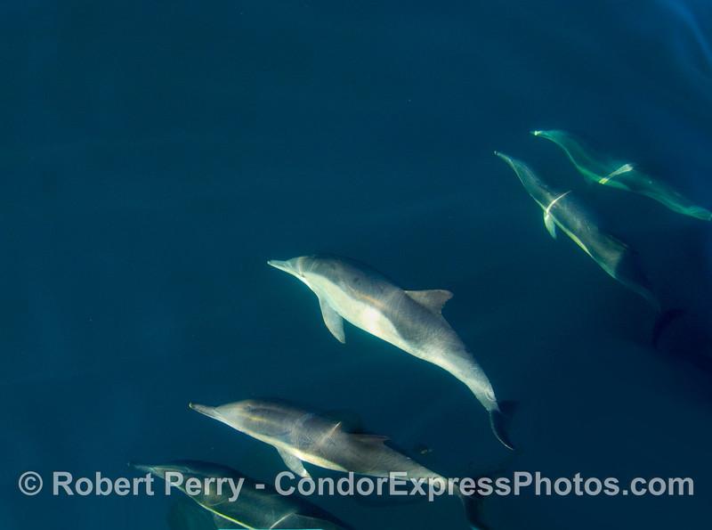Delphinus 5 underwater fisheye 2008 11-15 SB Channel - 012modCROP