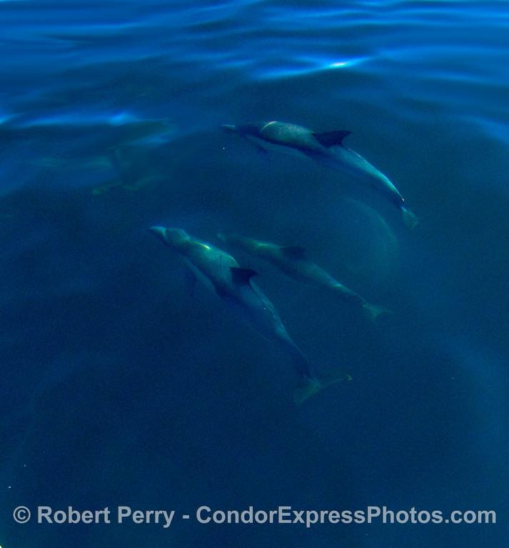Delphinus 3 underwater fisheye 2008 11-15 SB Channel - 025modCROP