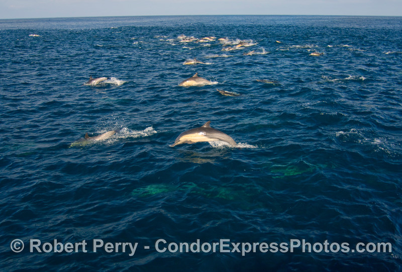 Delphinus herd - wide shot - 2008 11-28 SB Channel - 425modCROProt