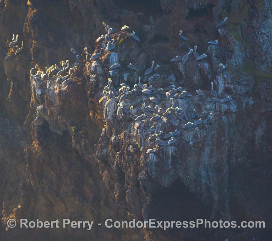 Pelecanus on rocky ledge 2008 11-28 Sta Cruz Island - 324modCROP