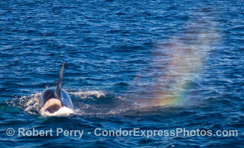 Orcinus orca with rainbow spout spray.