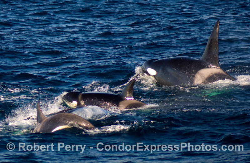 A male Orcinus orca (upper right) and several females.