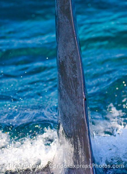 Adult male transien Orcinus orca CA20 dorsal fin, posterior edge.