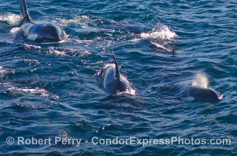 Four Orcinus orca approach the Condor Express.