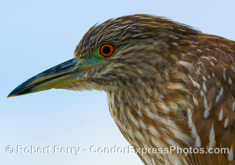 Nycticorax nycticorax, a juvenile black-crowned night heron poses on the port side hand rail of the dive boat Truth.