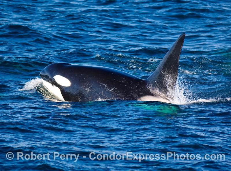 "Large male transient Orcinus orca, ""CA20."""