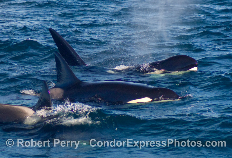 Orcinus orca; two males and a female.