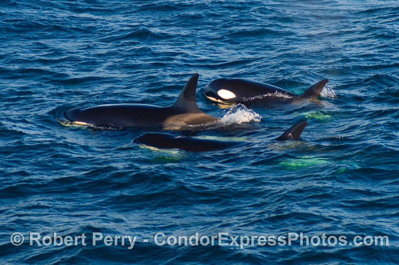 Three Orcinus orca.