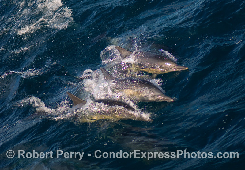 Three common dolphins, Delpinus capensis, ride a wave.